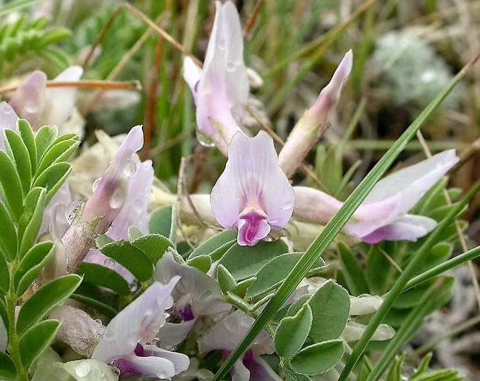 10 GROUND PLUM Flower Cover Ground Plum Milkvetch Astragalus Crassicarpus Seeds