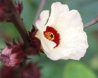 50 ROSELLE HIBISCUS Sabdariffa Rosella Fruit White & Red Flower Seeds *Flat Shipping