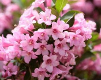 50 OLD FASHIONED WEIGELA Florida Bush Shrub Flower Seeds *Comb S/H