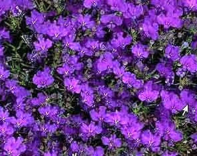 200 CRYSTAL PALACE LOBELIA Regatta Purple Blue Lobelia Erinus Flower Seeds *Comb S/H
