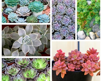 5 MIXED STONE LOTUS Sinocrassula Indica Indian Sedum Crassula Red Blue Green Silver Bicolor Succulent Pink Flower Seeds