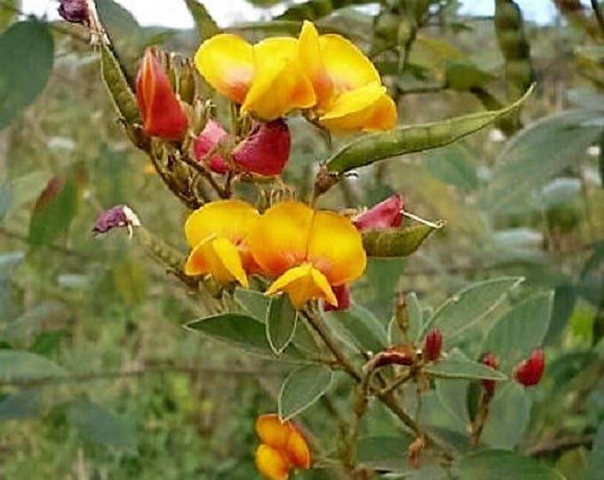 30 PIGEON PEA Dhal Gungo Puerto Rico Bean Cajanus Cajan Vegetable Seeds