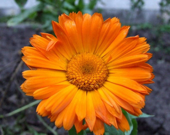 100 ORANGE ENGLISH MARIGOLD (Scotch / Pot Marigold) Calendula Officinalis Flower Seeds
