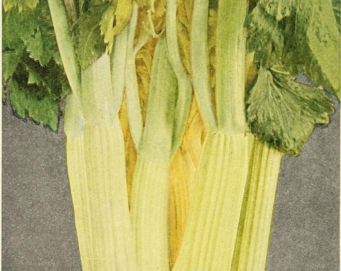 1000 GOLDEN Self-BLANCHING CELERY aka Burpee's or Dwarf Golden Apium Graveolens Dulce Vegetable Seeds