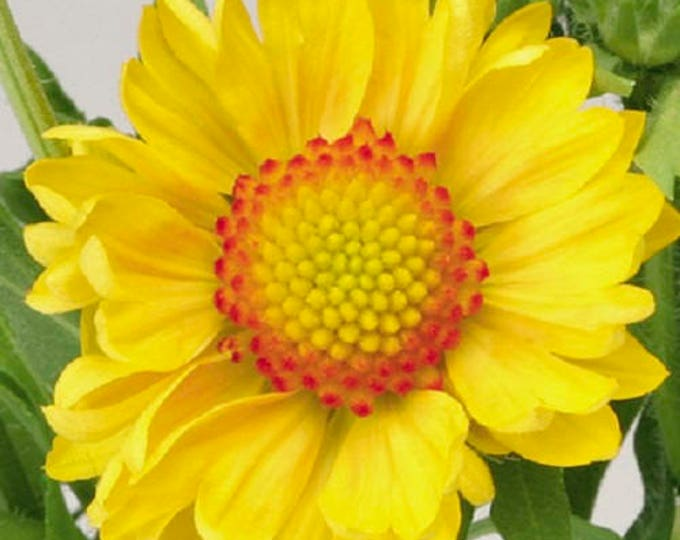 100 YELLOW GAILLARDIA (Blanket Flower / Indian Blanket) Gaillardia Aristata Flower Seeds