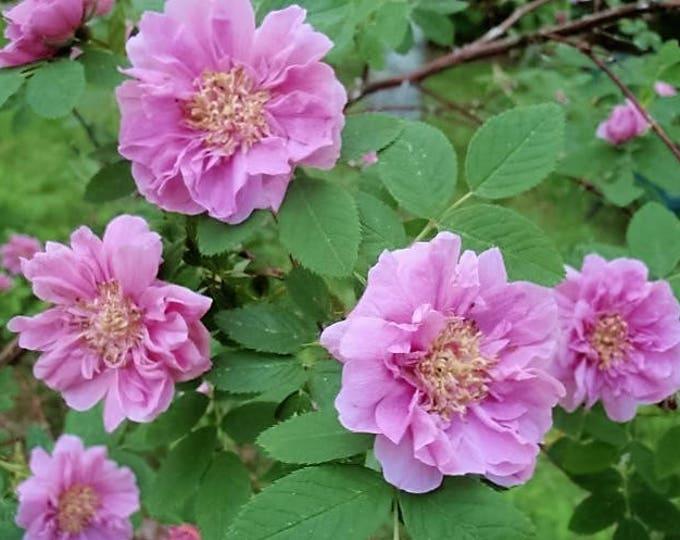 10 Pink CINNAMON ROSE Bush Amur Rosa Davurica Fragrant Flower Seeds