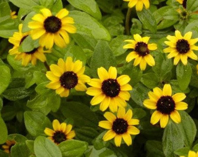150 YELLOW CREEPING ZINNIA Sanvitalia Procumbens Seeds