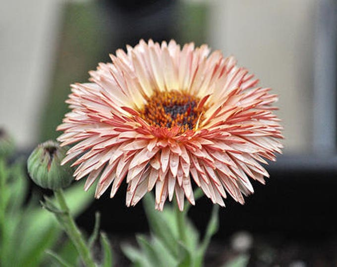 20 ZEOLIGHTS CALENDULA Officinalis MARIGOLD Flower Seeds Zeolight Coral Peach Apricot Pink *Comb S/H