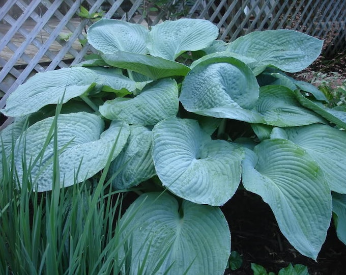 10 HOSTA ELEGANS Shade Lover Flower Seeds