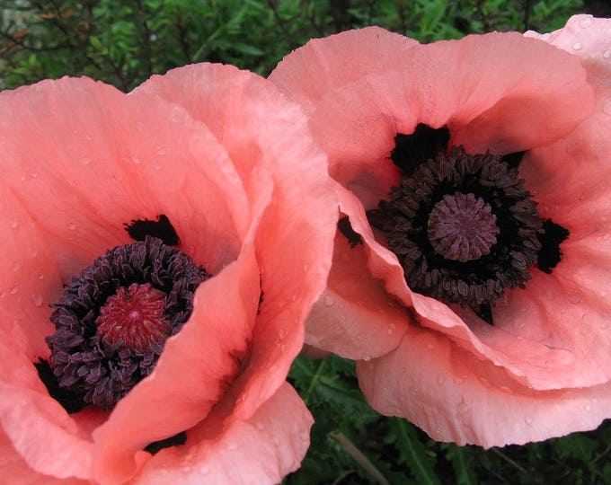 100 Princess Victoria Louise ORIENTAL POPPY Papaver Orientale Flower Seeds
