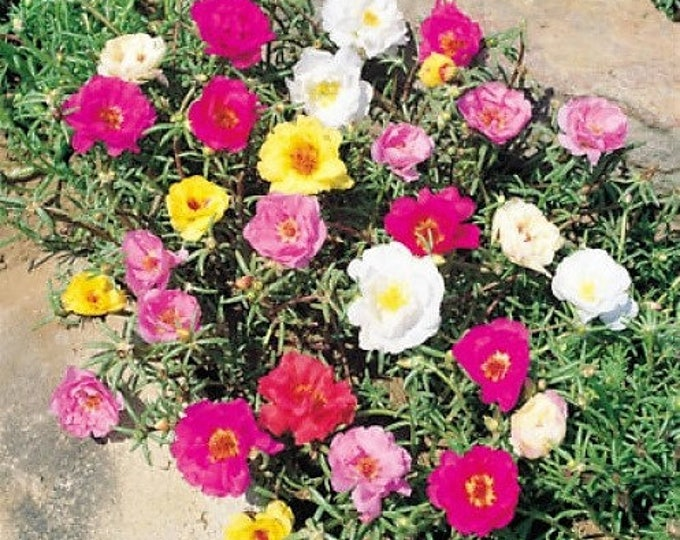 100 Mixed Colors PORTULACA MOSS ROSE Flower Seeds