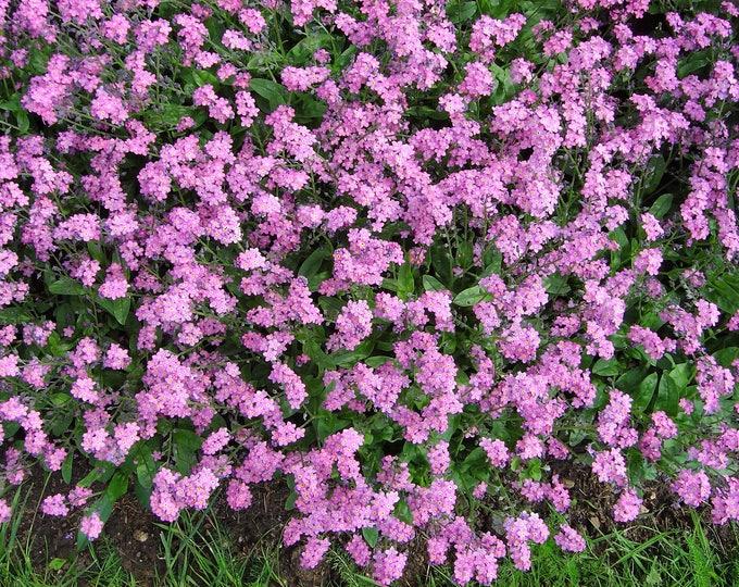 100 Victoria PINK FORGET Me NOT Myosotis Sylvatica Flower Seeds