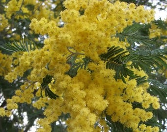 10 GOLDEN MIMOSA Acacia Baileyana Yellow Wattle Tree Flower Seeds *Comb S/H