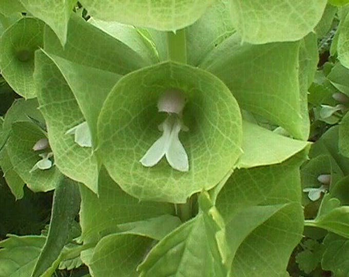 150 BELLS OF IRELAND ( Lady In The Bathtub / Shell Flower ) Moluccella Laevis Green Flower Seeds