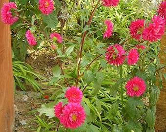 250 Double RED CHINA ASTER Callistephus Chinensis Flower Seeds *Flat Shipping