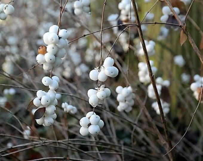 10 Dwarf CREEPING SNOWBERRY Shrub White Pink Flower Symphoricarpos Mollis Seeds