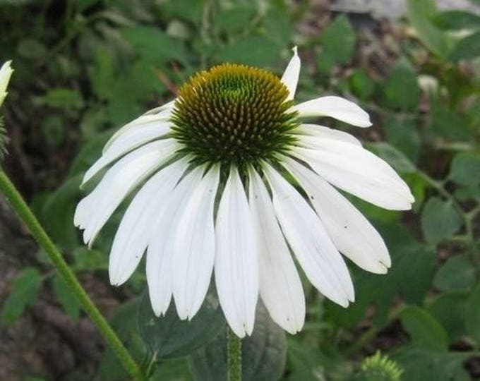 50 WHITE CONEFLOWER Echinacea Purpurea Flower Seeds