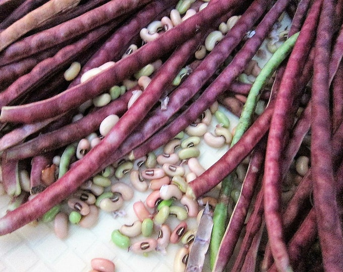 25 RED NOODLE BEAN Yard Long Asparagus Bean Chinese Phaseolus Vulgaris Legume Vegetable Seeds
