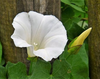 50 MOONFLOWER MORNING GLORY Whtie Moon Flower Ipomea Flower Vine Seeds