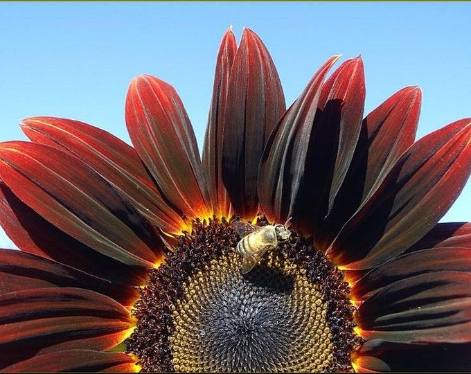 25 CHOCOLATE CHERRY SUNFLOWER Helianthus Annuus Red & Brown Flower Seeds + Gift