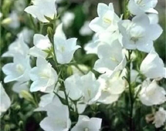 500 White PEACH LEAVED BELLFLOWER Campanula Persicifolia Flower Seeds