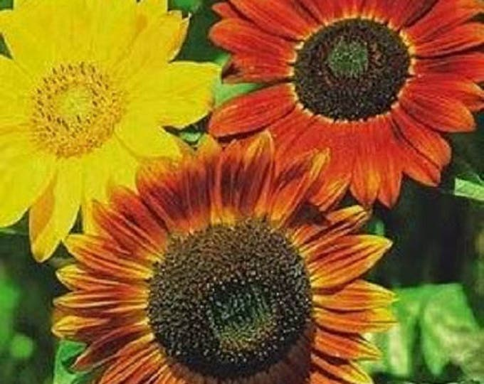 25 INDIAN BLANKET SUNFLOWER Helianthus Annuus Mixed Colors Flower Seeds *Flat Shipping