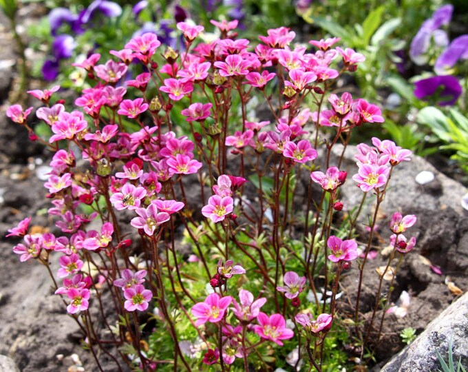 50 ROSE ROBE SAXIFRAGA Saxifraga Arendsii Mossy Rockfoil Evergreen Flower Seeds