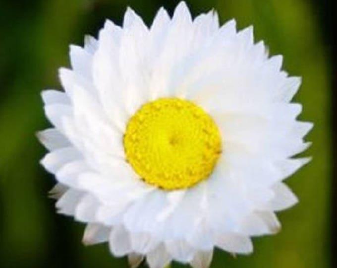250 WHITE WINGED EVERLASTING Ammobium Alatum Flower Seeds