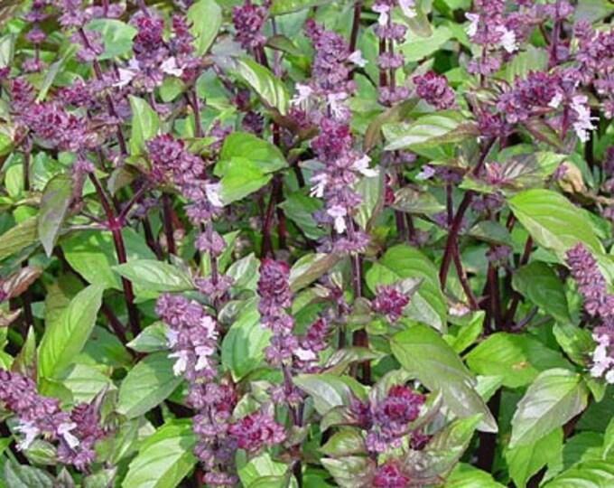 1000 CINNAMON BASIL Ocimum Basilicum HERB Flower Seeds