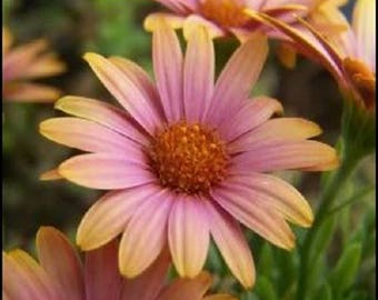 25 SALMON AFRICAN DAISY Dimorphotheca Sinuata Apricot Flower Seeds *Flat Shipping