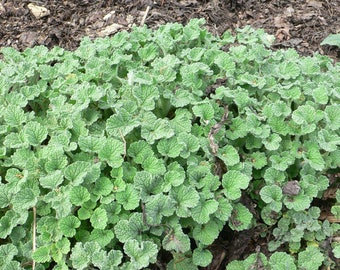 100 White HOREHOUND Marrubium Vulgare Herb Flower Seeds