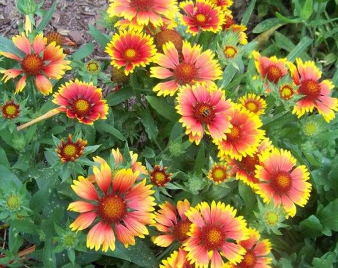 100 ARIZONA SUN GAILLARDIA (Blanket Flower / Indian Blanket) Gaillardia Pulchella Flower Seeds