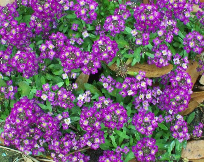 100 EASTER BONNET ALYSSUM Lobularia Maritima Bright Purple Flower Seeds *Flat Shipping