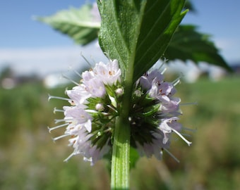 50 WHITE WOOD MINT Mentha Arvensis Wild Field Herb Flower Seeds