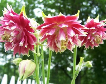 25 NORA BARLOW Pink COLUMBINE Aquilegia Caerulea Flower Seeds *Comb S/H