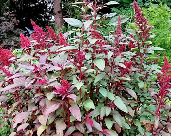 250 BURGUNDY AMARANTUS Hypochondriacus Amaranth Grain Vegetable Flower Seeds