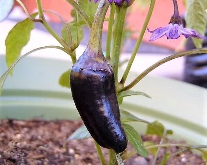 40 PURPLE JALAPENO PEPPER Capsicum Annuum Hot Vegetable Seeds *Flat Shipping