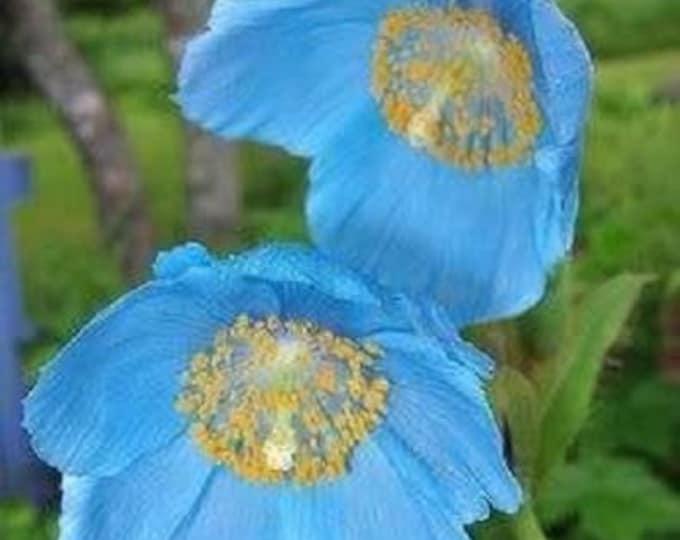 10 BLUE HIMALAYAN POPPY Tibetan Meconopsis Betonicifolia Flower Seeds *Flat Shipping