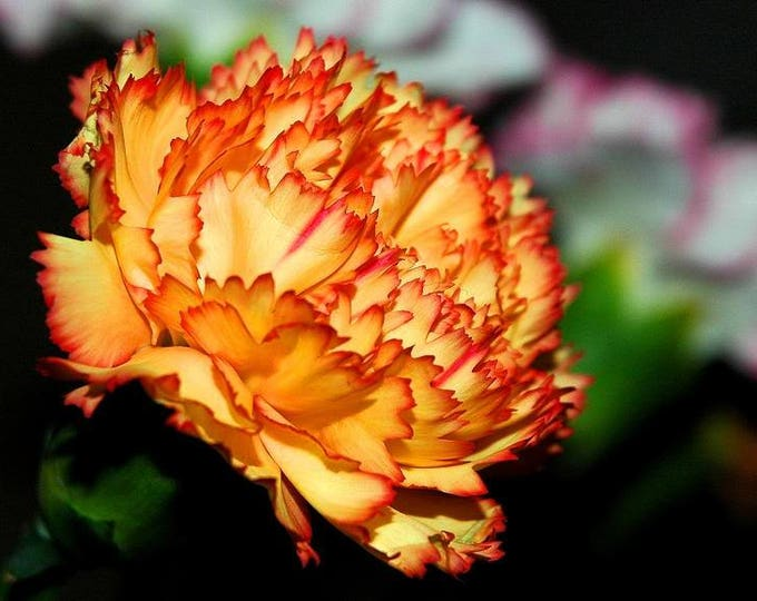 50 ORANGE CARNATION Dianthus Caryophyllus Chabaud Double Flower Seeds *Comb S/H