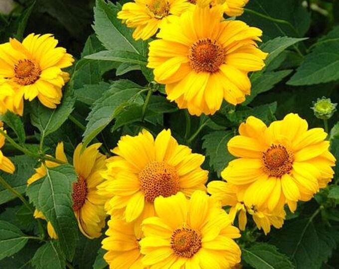 50 SUMMER SUN SUNDROPS Yellow Heliopsis Scabra False Sunflower Flower Seeds