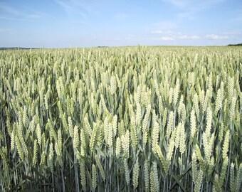 200 ORGANIC OAT Oats Avena Sativa Grain Vegetable Seeds