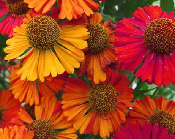 100 HELENIUM AUTUMN LEAVES Flower Seeds Mixed Colors *Comb S/H