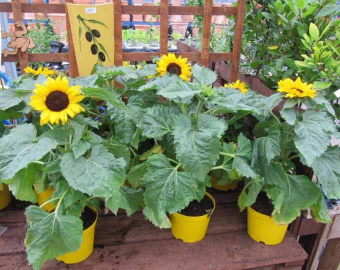 30 INCREDIBLE DWARF SUNFLOWER Helianthus Annuus Flower Seeds