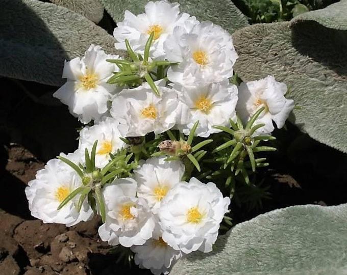 100 White PORTULACA Grandiflora / MOSS ROSE Succulent Flower Seeds *Flat Shipping