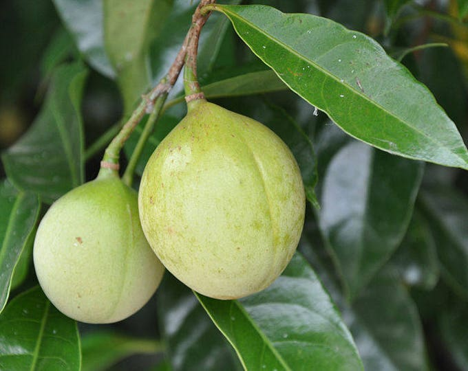 1 NUTMEG TREE Seed Myristica Fragrans Pala MACE Fruit Nut Pumpkin Pie Spice