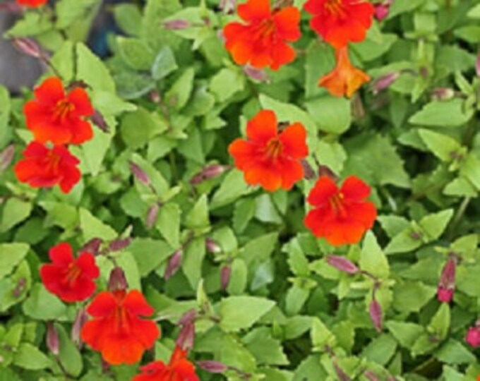100 Twinkle RED MONKEY FLOWER Mimulus Seeds *Combined S/H