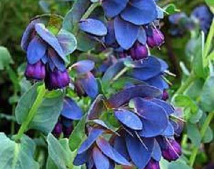 10 BLUE SHRIMP Plant / HONEYWORT Cerinthe Major Flower Seeds *Comb S/H