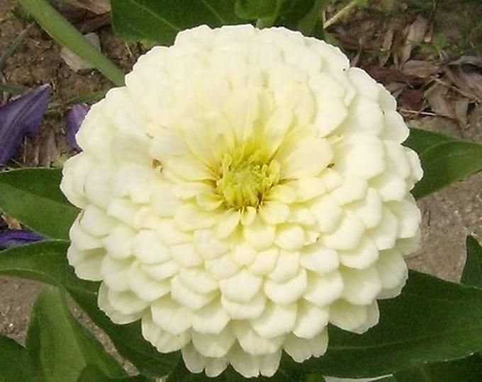 250 White POLAR BEAR ZINNIA Elegans Flower Seeds
