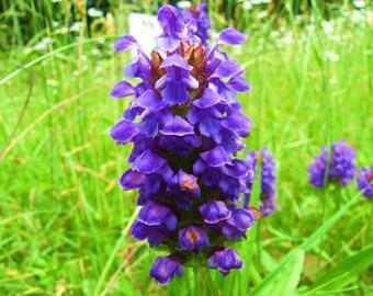 100 HEAL ALL Self Heal Prunella Vulgaris Purple Herb Flower Seeds *Comb S/H