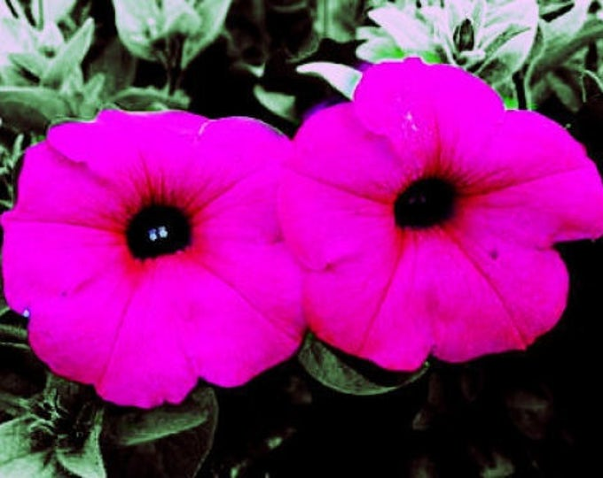 1000 SHANIN PETUNIA Integrifolia Violacea Pink Purple Wild Flower Seeds *Flat Shipping